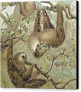 Two-toed Sloth Canvas Print by Granger