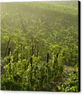 Vineyards Shrouded In Fog Canvas Print