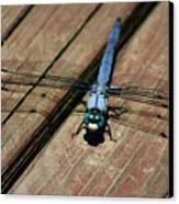 Violet Dancer On A Great Blue Skimmer Canvas Print