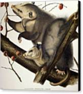 Virginian Opossum Canvas Print by John James Audubon