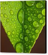 Water Droplets On Lemon Leaf Canvas Print