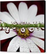 Water Drops And Daisy Canvas Print by Dr T J Martin