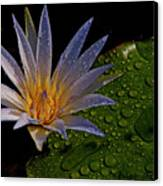 Water Lily 2 Canvas Print by Chaza Abou El Khair