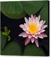 Waterlily - Study In Pink Canvas Print