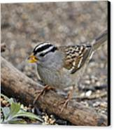 White Crowned Sparrow With Seeds Canvas Print by Laura Mountainspring