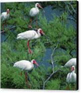 White Ibis At Galveston Bay Near Smith Canvas Print by Joel Sartore