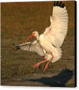 White Ibis Landing Upon Ground Canvas Print