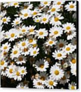White Summer Daisies Canvas Print