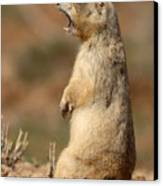 White-tailed Prairie Dog Giving A Fierce Bark Canvas Print
