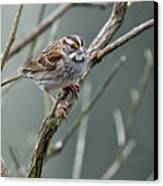 White Throated A Sparrow Canvas Print