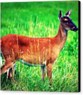 Whitetailed Deer Canvas Print by Susie Weaver