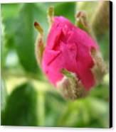 Wild Rose Bud Canvas Print
