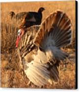 Wild Turkey Tom Following Hens Canvas Print by Max Allen