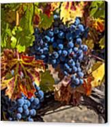 Wine Grapes Napa Valley Canvas Print