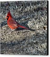 Winter Redbird Canvas Print