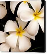 Yellow And White Plumeria Canvas Print