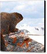 Yellow-bellied Marmot Enjoying The Mountain View Canvas Print