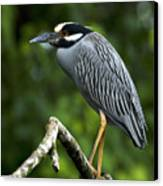 Yellow-crowned Night Heron Canvas Print by JP Lawrence