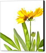 Yellow Daisy Isolated Against White Canvas Print by Sandra Cunningham