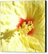 Yellow Hibiscus Close Up Canvas Print