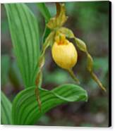 Yellow Lady Slipper Canvas Print