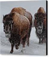 Yellowstone Bison Canvas Print