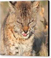 Young Bobcat 02 Canvas Print by Wingsdomain Art and Photography