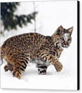 Young Bobcat Playing In Snow Canvas Print by Melody Watson