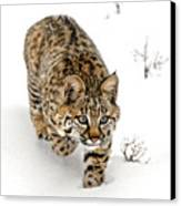 Young Bobcat Stalking Canvas Print