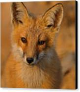 Young Fox Canvas Print by William Jobes