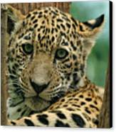 Young Jaguar Canvas Print by Sandy Keeton