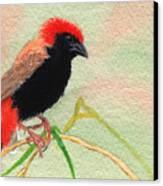 Zanzibar Red Bishop Canvas Print