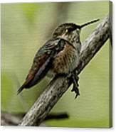 A Little Tired Hummingbird Canvas Print