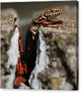 A Lizard Emerging From Its Hole Canvas Print