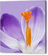 Abstract Purple Crocus Canvas Print