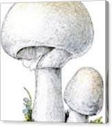 Agaricus Species Either Campestris Or Drawing By Mary Evans Picture Library
