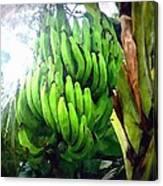 Banana Plants Canvas Print
