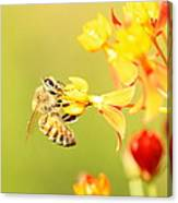 Bee On Milkweed Canvas Print