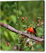 Berry Eating  Scarlet Tanager Canvas Print