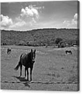 Black And White Pasture With Three Horses Canvas Print