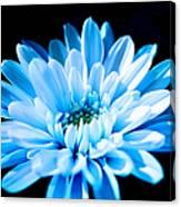 Blue Chrysanthemum Canvas Print