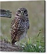 Burrowing Owls - Watching You 3 Canvas Print