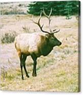 Canadian Elk Canvas Print