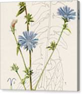 Chicory, Or Succory         Date 1915 Canvas Print