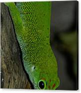 Climbing Giant Day Gecko Canvas Print