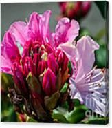 Coast Rhododendron Canvas Print