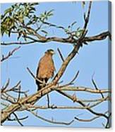 Crested Serpent Eagle Canvas Print