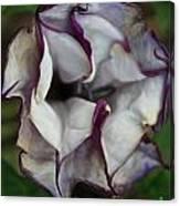 Datura Metel Canvas Print