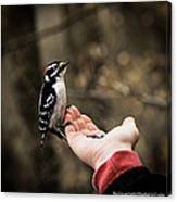 Downy Woodpecker In Hand Canvas Print