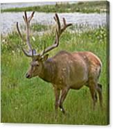 Elk At Pond Edge Canvas Print
